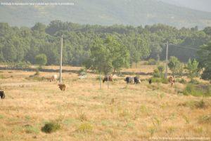 Foto Ganado en Alameda del Valle 5
