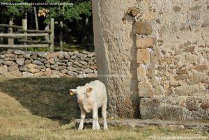 Foto Ganado en Alameda del Valle 15