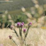 Foto Cardo en El Atazar 3
