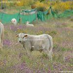 Foto Ganado vacuno en Horcajo de la Sierra 3