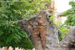 Foto Álamo Viejo en Miraflores de la Sierra 5