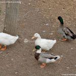 Foto Patos en Moraleja de Enmedio 7