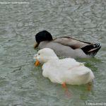 Foto Patos en Moraleja de Enmedio 8