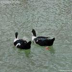 Foto Patos en Moraleja de Enmedio 9