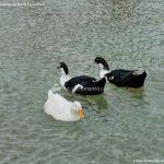 Foto Patos en Moraleja de Enmedio 10