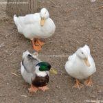 Foto Patos en Moraleja de Enmedio 16