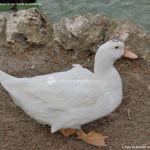 Foto Patos en Moraleja de Enmedio 18
