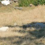 Foto Ovejas en San Mamés 4
