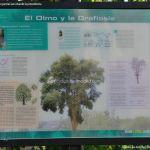 Foto Olmo en Olmeda de las Fuentes 1