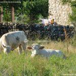Foto Ganado vacuno en Pinilla del Valle 2