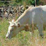 Foto Ganado vacuno en Pinilla del Valle 6