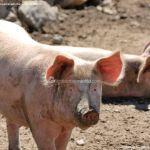 Foto Cerdos en La Serna del Monte 2