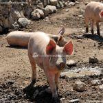Foto Cerdos en La Serna del Monte 3
