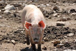 Foto Cerdos en La Serna del Monte 4