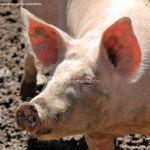 Foto Cerdos en La Serna del Monte 5