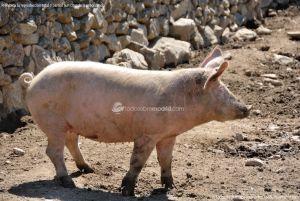 Foto Cerdos en La Serna del Monte 6