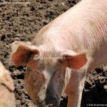 Foto Cerdos en La Serna del Monte 7