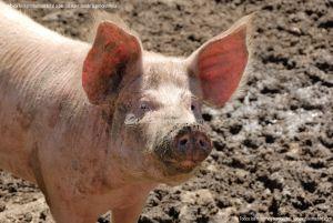 Foto Cerdos en La Serna del Monte 8