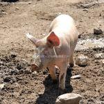 Foto Cerdos en La Serna del Monte 9