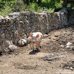 Foto Cerdos en La Serna del Monte 10
