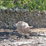Foto Cerdos en La Serna del Monte 11
