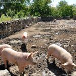 Foto Cerdos en La Serna del Monte 12