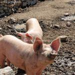Foto Cerdos en La Serna del Monte 13