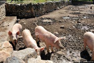 Foto Cerdos en La Serna del Monte 14