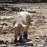 Foto Cerdos en La Serna del Monte 15