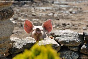 Foto Cerdos en La Serna del Monte 16