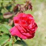Foto Rosas en la Rosaleda Ramón Ortiz 4
