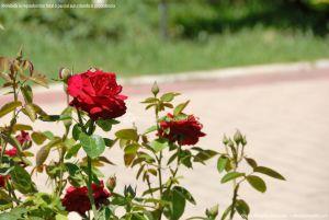 Foto Rosas en la Rosaleda Ramón Ortiz 8