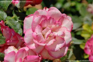 Foto Rosas en la Rosaleda Ramón Ortiz 9