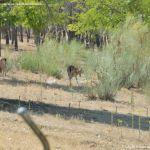 Foto Gamos en el Monte de El Pardo 6