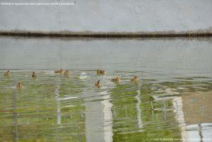 Foto Patos en Coslada 3