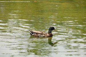 Foto Patos en Coslada 4