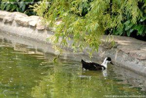Foto Patos en Coslada 5