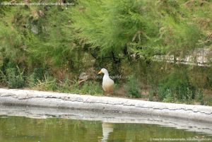 Foto Patos en Coslada 6