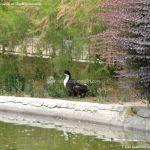 Foto Patos en Coslada 7
