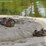 Foto Patos en Coslada 8