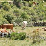 Foto Vacas pastando y bebiendo en Santa María de la Alameda 2