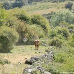 Foto Vacas pastando y bebiendo en Santa María de la Alameda 3