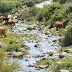 Foto Vacas pastando y bebiendo en Santa María de la Alameda 4