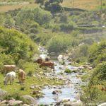 Foto Vacas pastando y bebiendo en Santa María de la Alameda 5