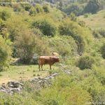 Foto Vacas pastando y bebiendo en Santa María de la Alameda 7