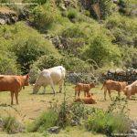 Foto Vacas pastando y bebiendo en Santa María de la Alameda 8
