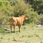 Foto Vacas pastando y bebiendo en Santa María de la Alameda 9