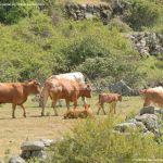 Foto Vacas pastando y bebiendo en Santa María de la Alameda 10