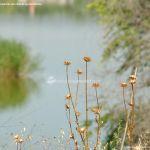 Foto Cardos en Laguna El Campillo 1