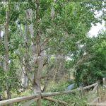 Foto Chopo en Área Recreativa del Retamar 3